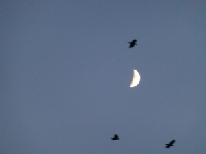 Moon and Crows