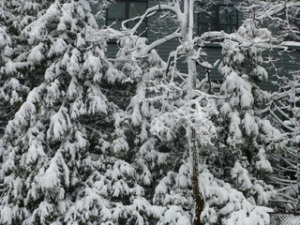 Snow_Heavy_Boughs