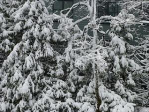 Snow_Heavy_Boughs
