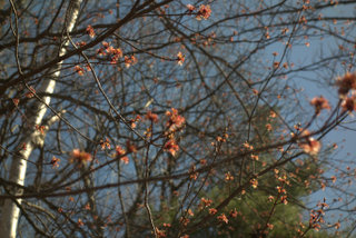 Budding_Maple