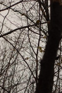 There is a wood duck in this picture!