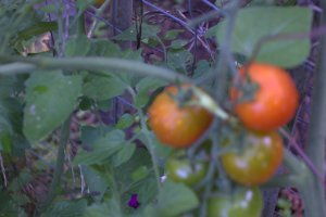 August_Tomatoes