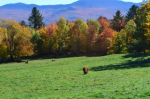 Cow_Autumn